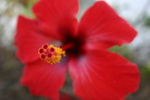red stamen and flower